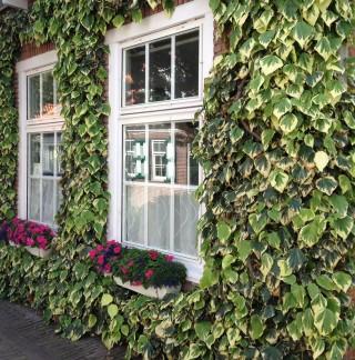 Bildinhalt: Grüne Fassaden -Kletterfix Ökolöwenprojekt startet wieder |